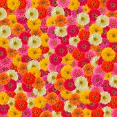 Zinnias Flower Background