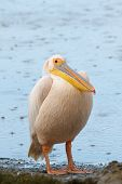 Great White Pelican (pelecanus Onocrotalus) In The Rain