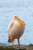 Great White Pelican (pelecanus Onocrotalus) In The Rain