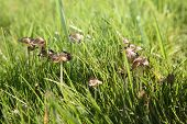 image of spores  - Genuine shaggy mane - JPG