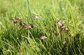 stock photo of spores  - Genuine shaggy mane - JPG