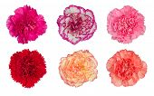 picture of carnation  - carnation flower blooming isolated on white background - JPG