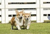 stock photo of corgi  - Two young healthy beautiful red sable and white Welsh Corgi Pembroke dogs with a docked tail walking on the grass happily - JPG