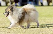 Miniature German Spitz