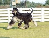 stock photo of greyhounds  - A profile view of a healthy beautiful grizzle black and tan Afghan Hound running on the grass looking happy and cheerful - JPG