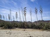 Agave Plants In Almeria, Spain