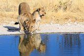 Lions drinking in Etosha