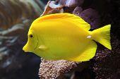 Yellow Tang Fish (zebrasoma Flavescens)