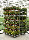Racks Of Potted Chrysanthemums