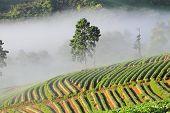 morning at beautiful strawberries farm at Chiangmai Thailand