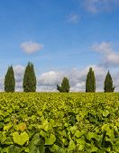 Vinyard With Cypress Trees