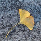 Yellow leaf falling on concrete floor in autumn season