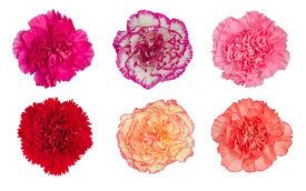 stock photo of carnation  - carnation flower blooming isolated on white background - JPG