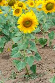 stock photo of hayfield  - Bright yellow sunflower in the sunflower field - JPG