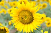image of hayfield  - Bright yellow sunflower in the sunflower field - JPG