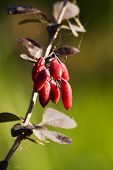Sunlighted barberry