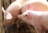picture of pig-breeding  - three young pink pigs in the sty of the farm - JPG