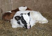 foto of calves  - newborn calves in the barn of the farm animal breeder - JPG