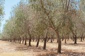stock photo of row trees  - Receding rows of olive trees with sprinklers in dry summer conditions with brown grass between - JPG