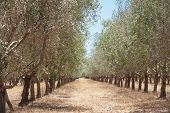 image of row trees  - Receding avenue of olive trees in Australian grove with dry summer grass between rows of regularly spaced trees - JPG