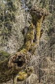 pic of tree trim  - Old willow tree is trimmed and shaped - JPG