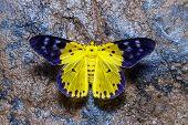 foto of moth  - Top view of Dysphania militaris moths on wet rock - JPG