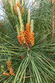 pic of pine cone  - Young buds of a pine ordinary on green background - JPG