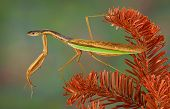 image of snake-head  - A praying mantis is perched on a dead evergreen branch and appears to have the head and neck of a snake - JPG