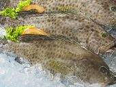 foto of grouper  - grouper fish on top of ice - JPG