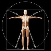 image of male body anatomy  - Vitruvian human or man as a concept - JPG