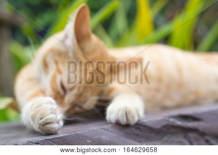 poster of Paws cat close-up, Thailand Cat lethargic. Cute cat, cat lying on the wooden floor in the background blurred close up playful cats, cats relaxing vacation.