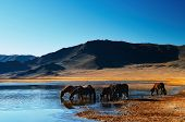 Drinking horses in mongolian wilderness