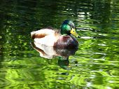 Mallard On Irridescent Pond