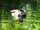 Mallard On Irridescent Pond