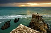 Gannet colony, Muriwai Beach, New Zealand