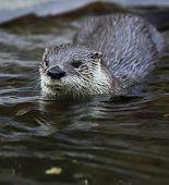 Otter - cute and cunning european mammal