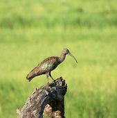 Hadada Ibis On Tree Trunk In Tarangire Tanzania