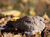 Eurasian Collared Dove also known as turtledove (Streptopelia decaocto)