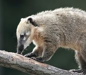 Close-up portrait of a very cute White-nosed Coati (Nasua narica) aka Pizote  or Antoon. Diurnal, om