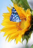 picture of butterfly flowers  - Sunflower  and  blue butterfly - JPG
