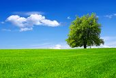 stock photo of apple tree  - Green tree in a field on blue sky - JPG