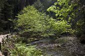 Río en bosques muir