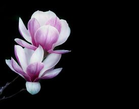 stock photo of japanese magnolia  - Pink Magnolia - JPG