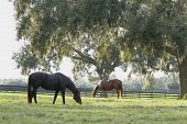 picture of horse plowing  - Thoroughbred horse series - JPG