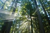 Beautiful light rays blasting through huge redwood trees