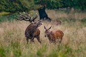 Red Deer Stags (cervus Elaphus) Europe Danmark poster
