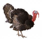 stock photo of turkey-cock  - turkey cock isolate on white - JPG