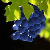 grapes vine