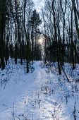Sunbeams Shining Through The Snowy Woods. Wild And Nature. poster