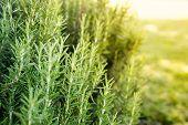 Fresh Rosemary Herb Grow Outdoor. Rosemary Herb Garden poster